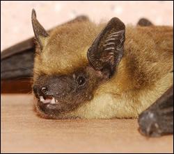 bat control Killeen