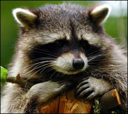 raccoon control Killeen