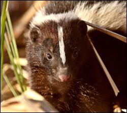 skunk control Killeen